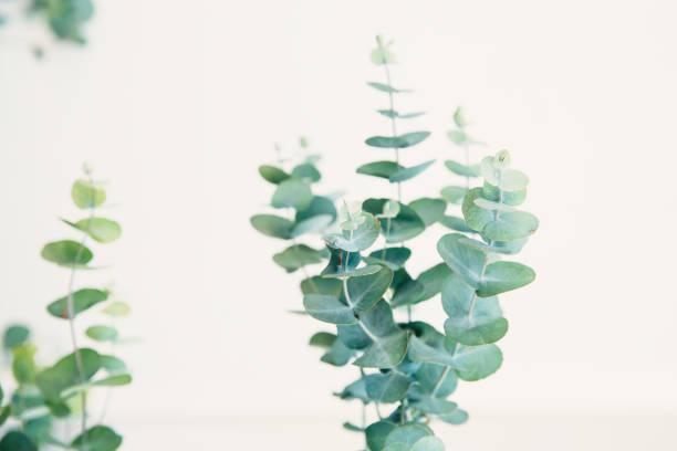 grüne eukalyptus - eukalyptusbaum stock-fotos und bilder