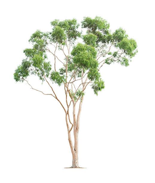 green eucalyptus tree - eucalyptus tree stock photos and pictures