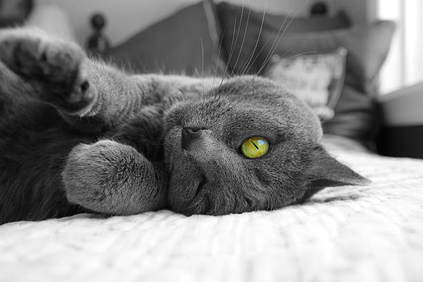 grünes auge cat - gedehnte ohren stock-fotos und bilder
