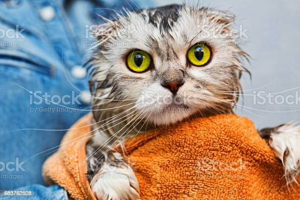 Green eyed just washed cat picture id683762528?b=1&k=6&m=683762528&s=612x612&h=0kfhexhfhx 6xuu1tq0up1 0xadteuwqsnc85cchcu8=