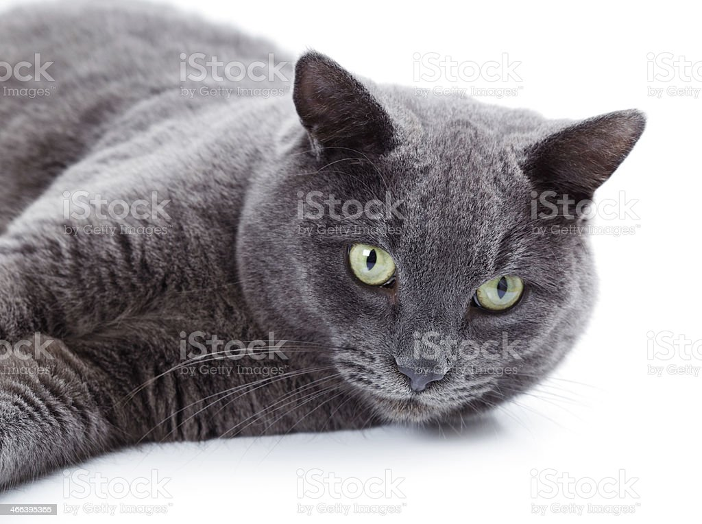 Green eyed Maltese cat also known as the British Blue stock photo