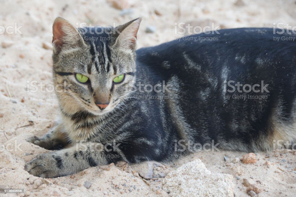 green eyed tabby cat resting on sand stock photo more pictures of