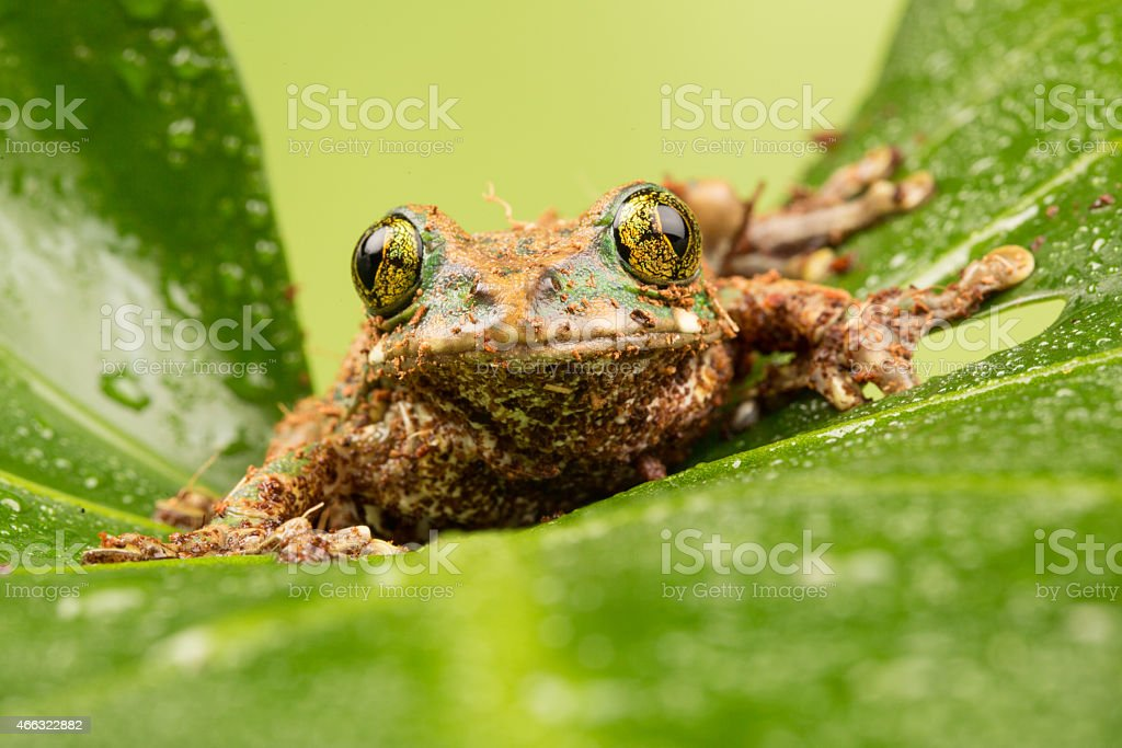 Green Eyed Tree Frog stock photo