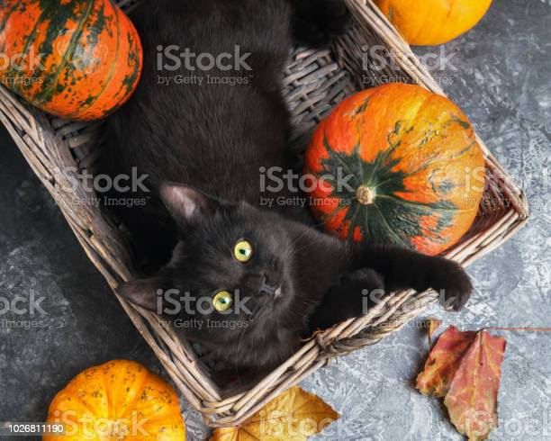 Green eyes black cat and orange pumpkins in wicker basket on gray picture id1026811190?b=1&k=6&m=1026811190&s=612x612&h=pqy9aivnecxaqszbuzvzeyrq1aeu1vboic5rmqepx i=
