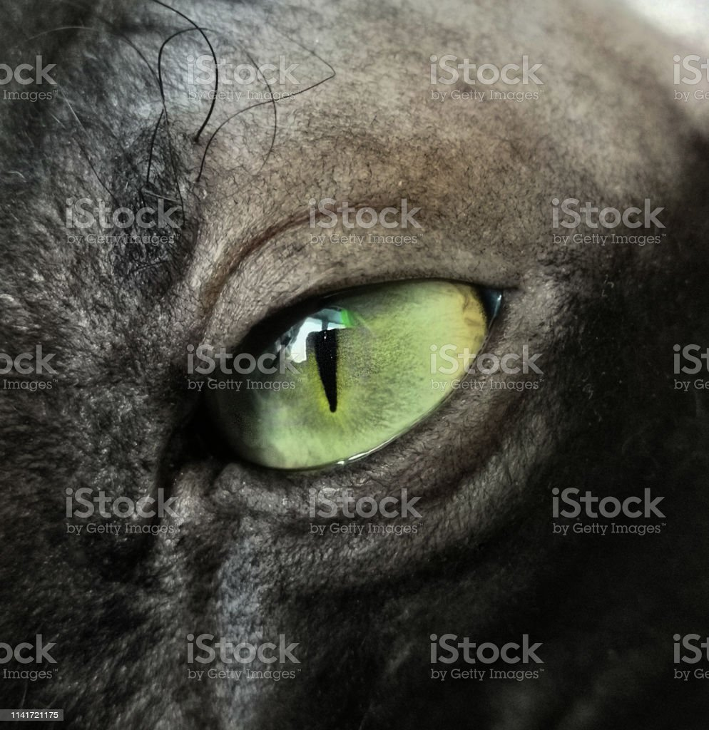 Green eyes the black Sphinx in close-up. Predator\'s view of an animal