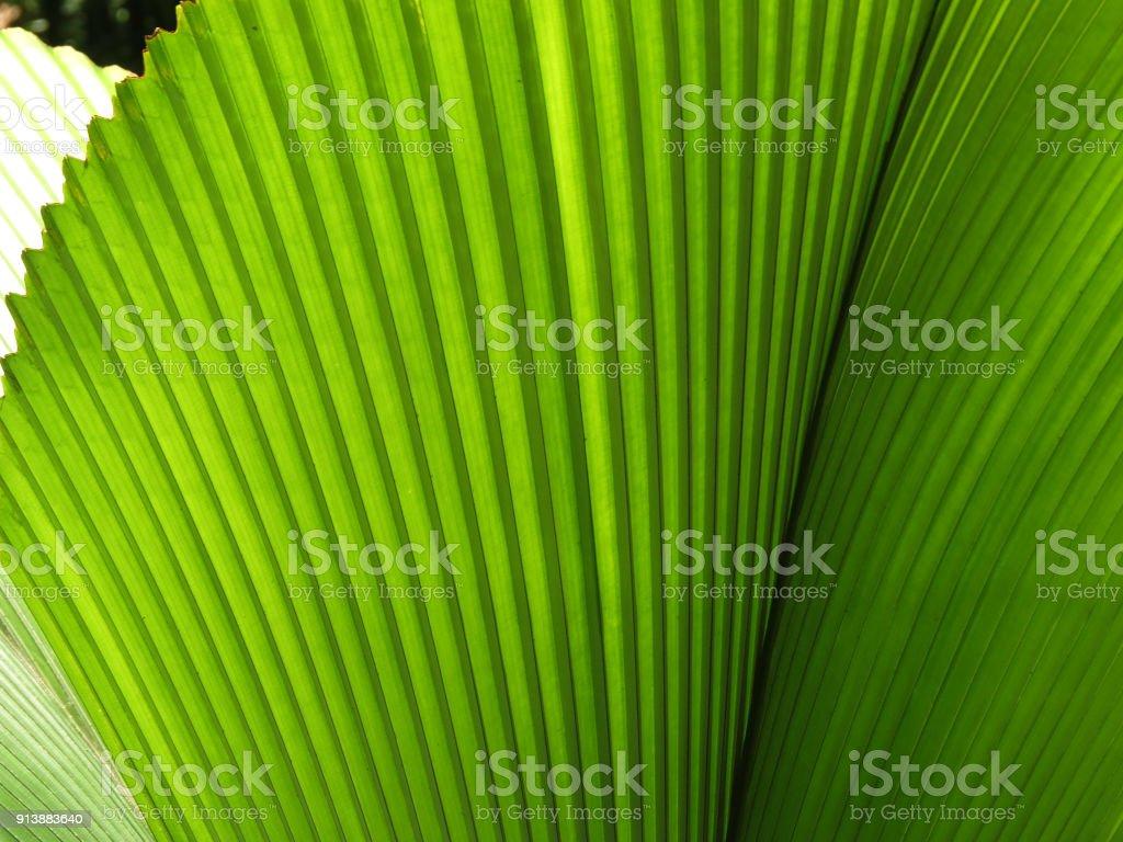 Green fan leaf palm stock photo