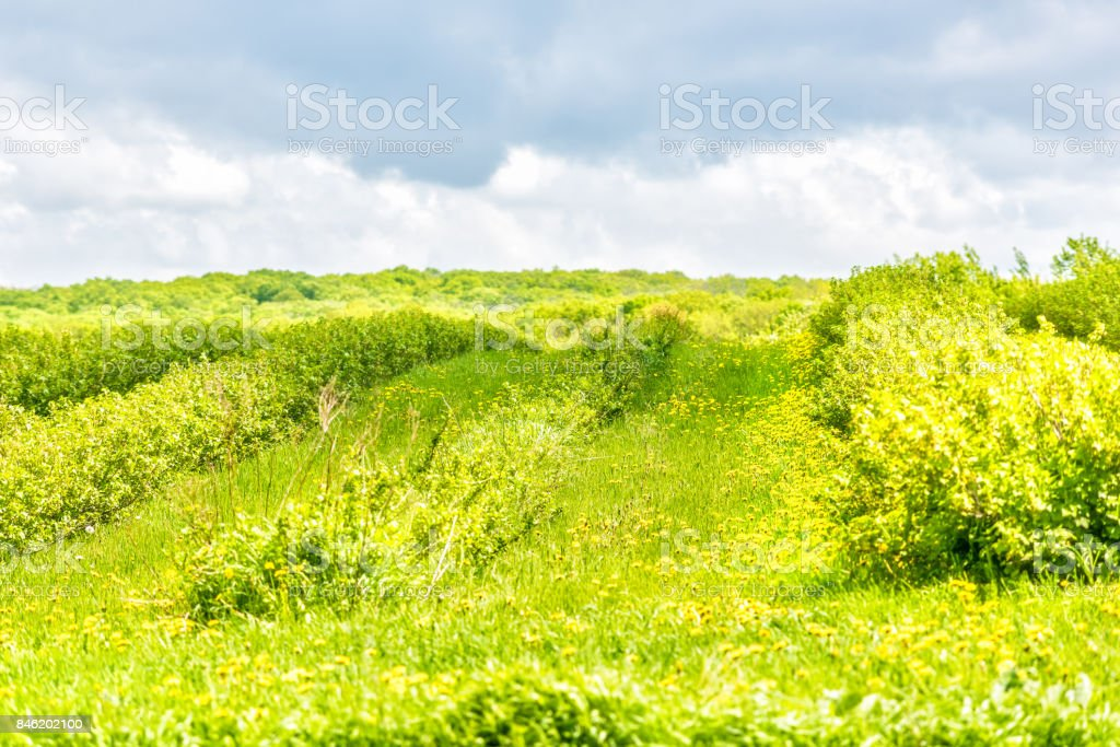 Green farm hill with stormy sky and field of yellow dandelion flowers, grass, forest and bushes in Ile D'Orleans, Quebec, Canada stock photo