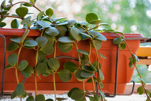 Green fat plant in the pot - foto stock