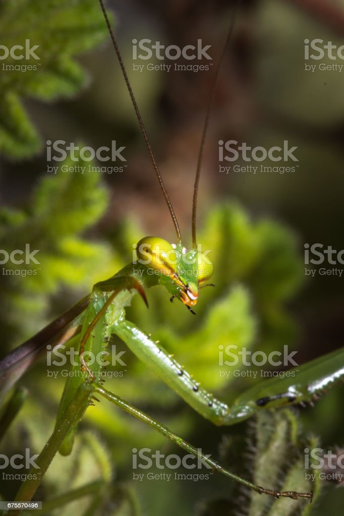 Green female Praying Mantis hiding behind green leaves, Cape Town, South Africa photo libre de droits