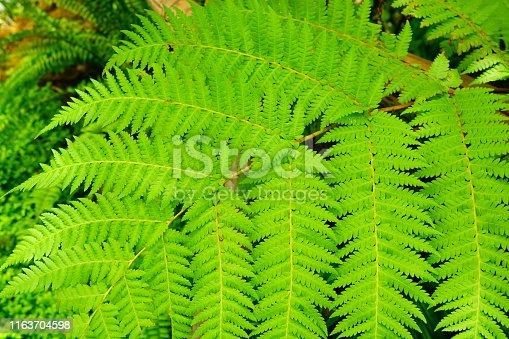 682374404 istock photo Green Fern Background 1163704598