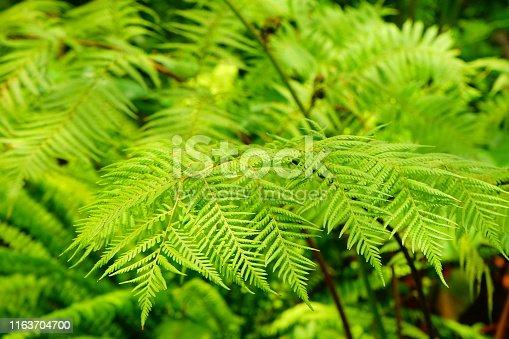 682374404 istock photo Green Fern Background 1163704700
