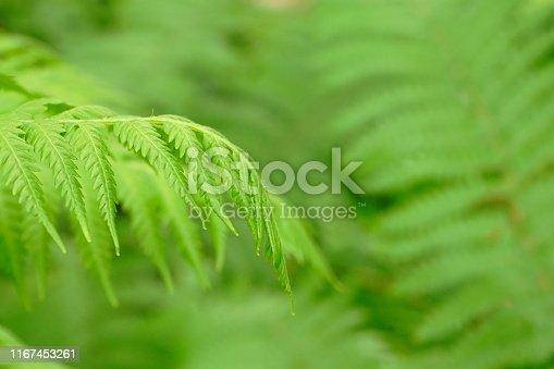 682374404 istock photo Green Fern Background 1167453261