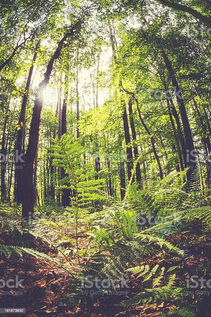 Green fern in forest royalty-free stock photo