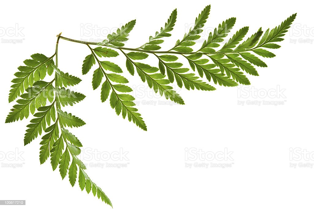 green fern leaf isolated stock photo