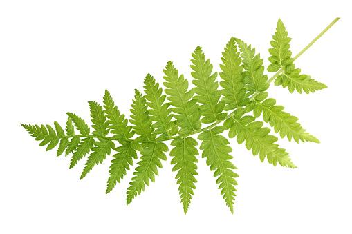 Fresh fern leaf isolated on white background