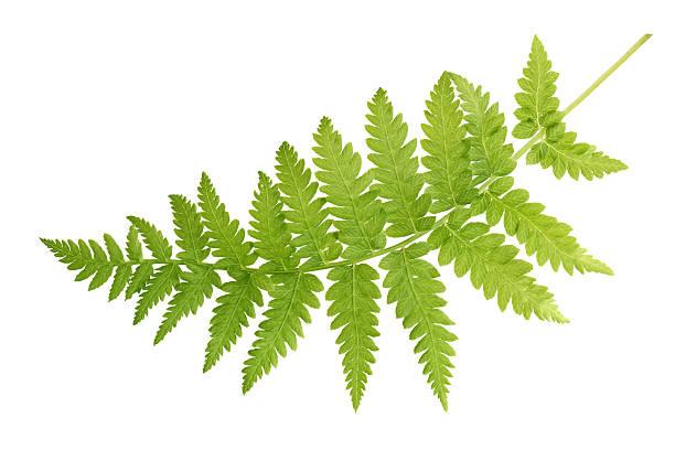green fern leaves isolated on white background - varen stockfoto's en -beelden