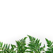 istock Green Fern Leaves or Leather Leaf on White Background 1251738749
