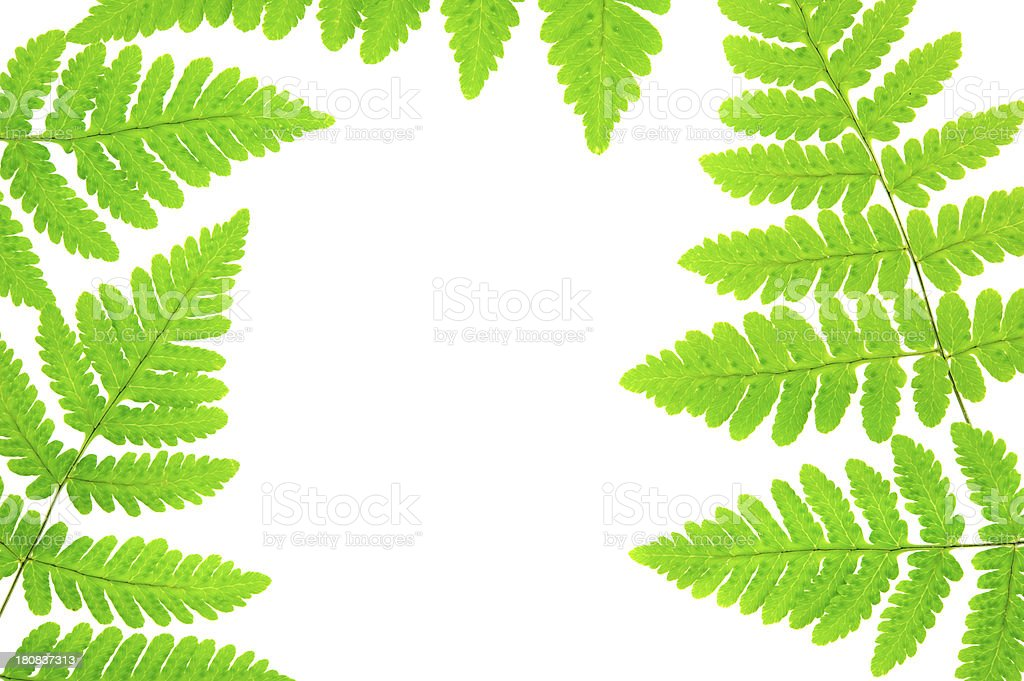 Green fern leaves royalty-free stock photo