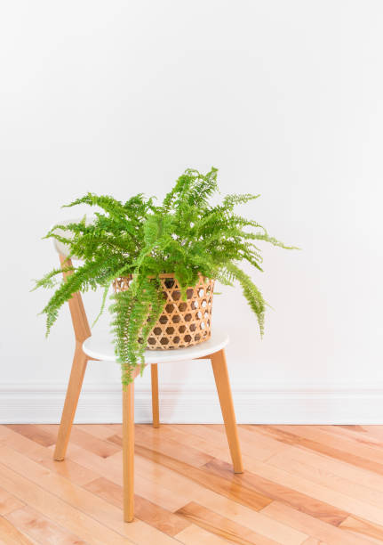 Green fern plant in a basket on a stylish chair stock photo