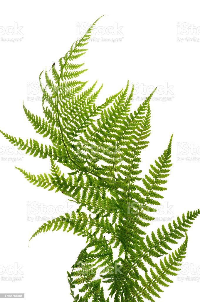 A green fern up close on a white background royalty-free stock photo
