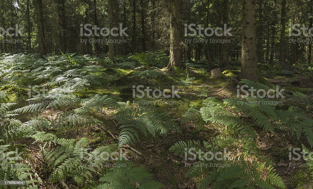 Green ferns fronds deep in dappled sunlight of tranquil forest stock photo