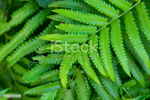 istock Green ferns leaves green close up background 1095255858