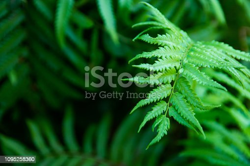 istock Green ferns leaves green close up background 1095258360