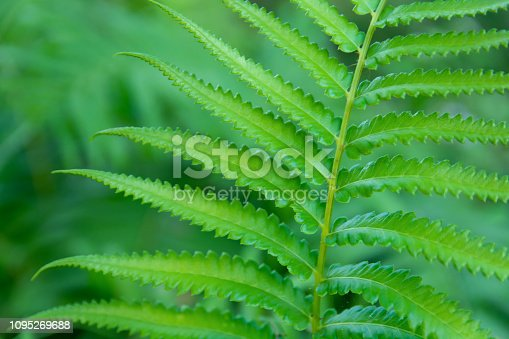istock Green ferns leaves green close up background 1095269688