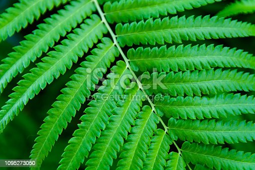 istock Green ferns leaves green close up background 1095273050