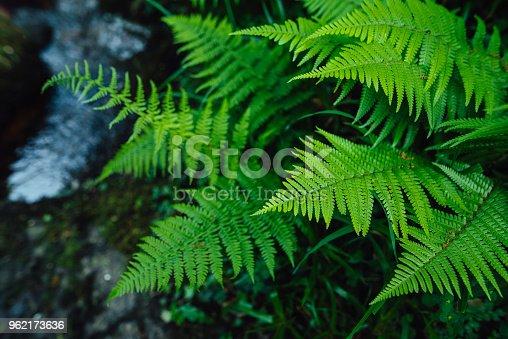 istock Green ferns 962173636