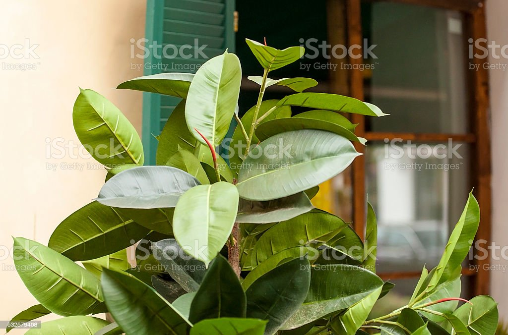 Green Ficus at the small Italian house stock photo