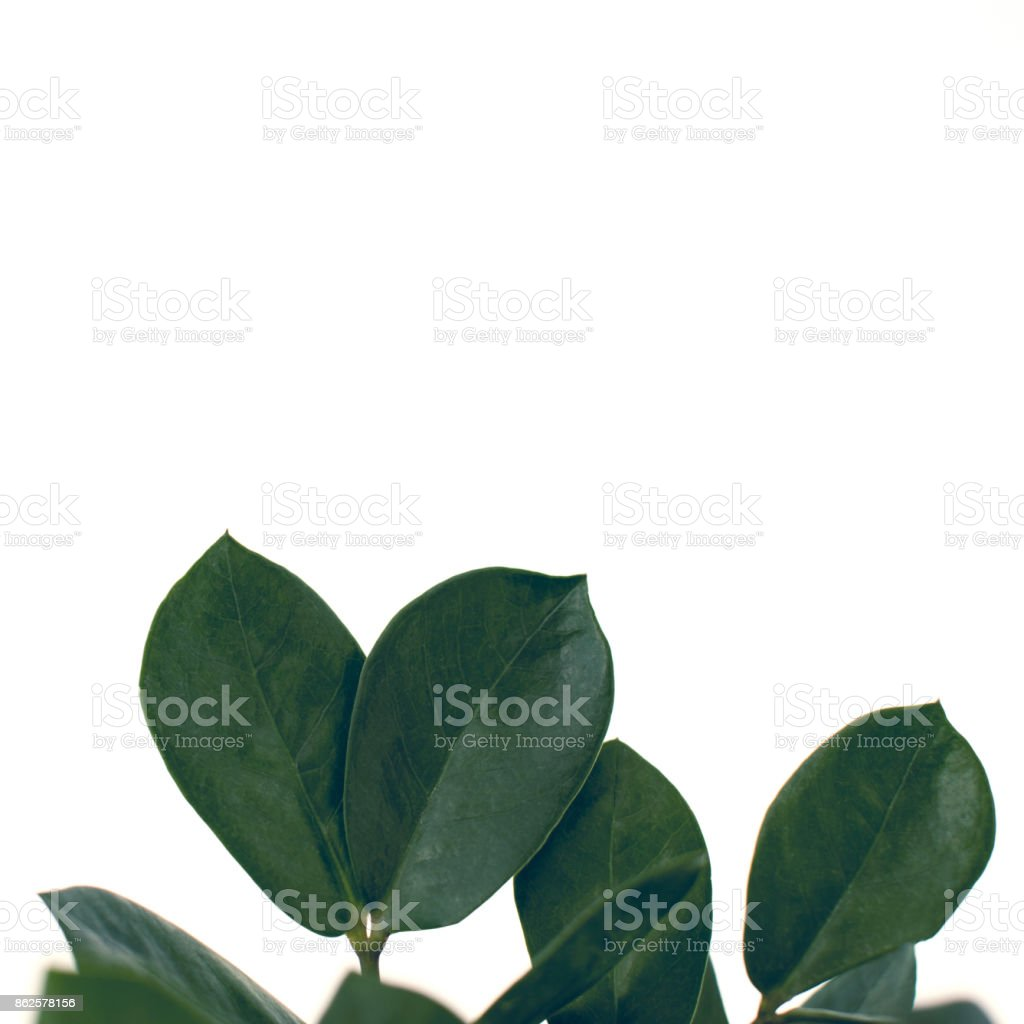 green ficus leaves stock photo