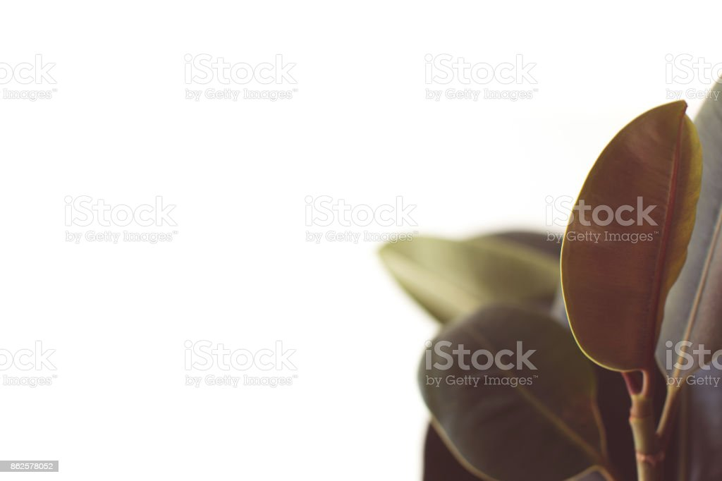 green ficus leaves with copy space stock photo
