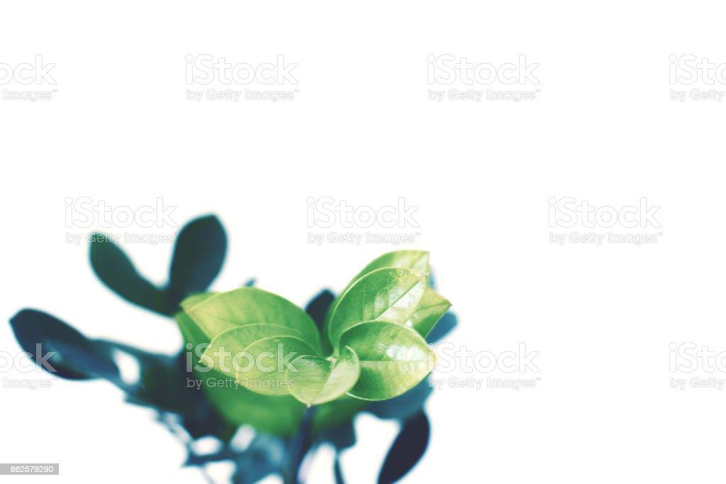 green ficus plant stock photo