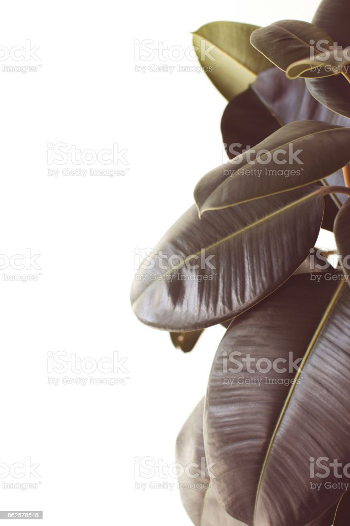 green ficus plant with copy space stock photo