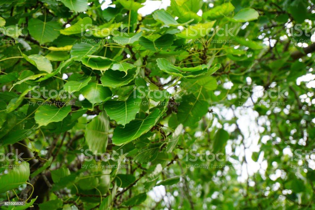 Green ficus religiosa leaves in nature garden stock photo