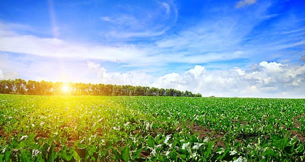 Grünen Feld und blauer Himmel  – Foto