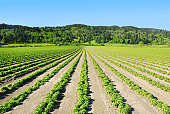 Field of green plants in Northern California, USA