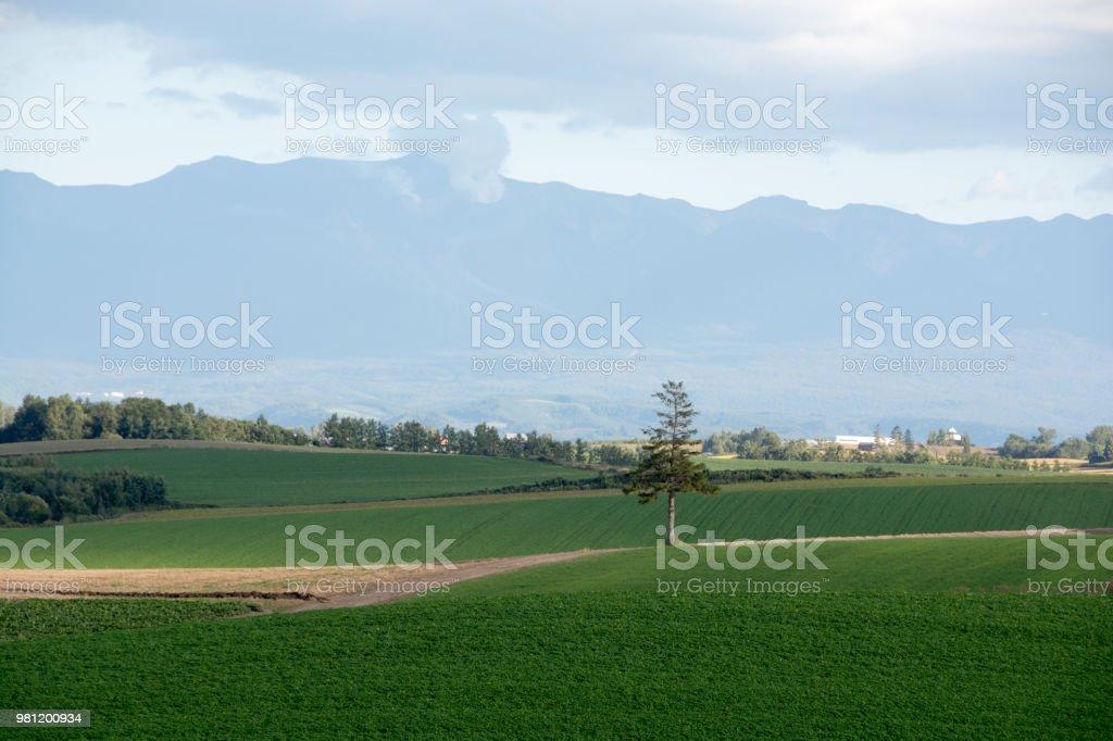 Green field and pine tree in Biei stock photo