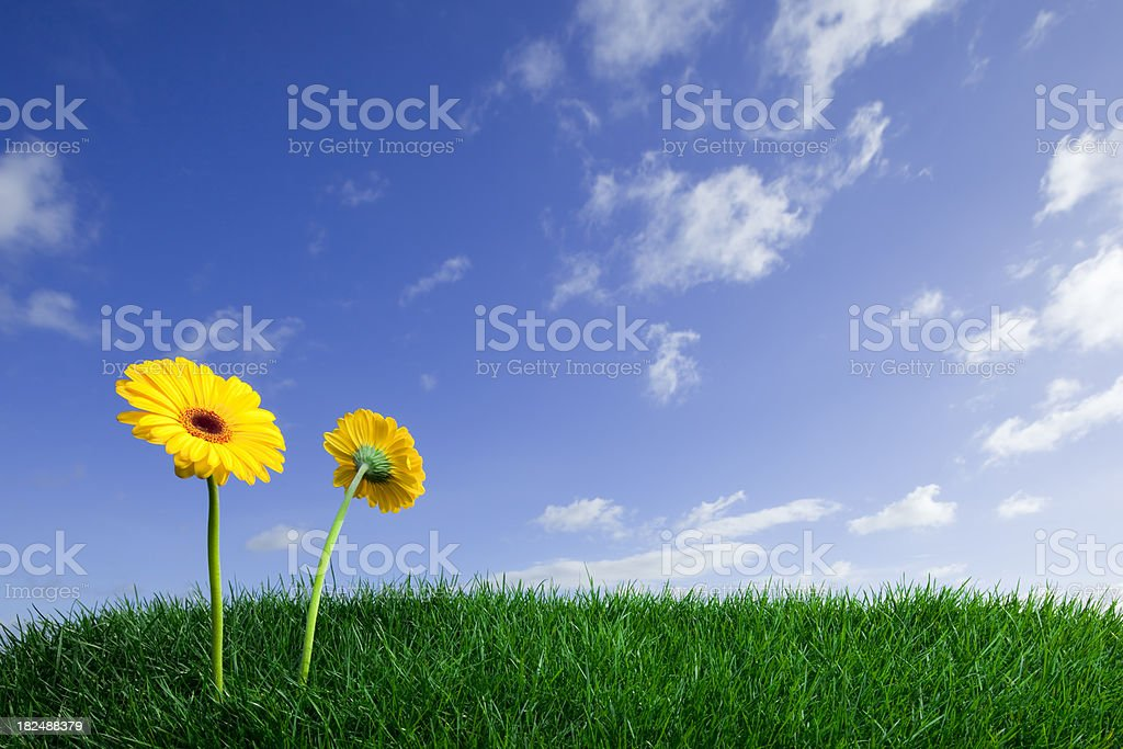 Green field and yellow flowers royalty-free stock photo