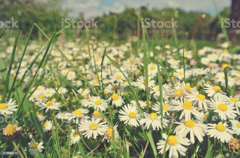Green field full of daisies in spring; faded, retro style stock photo