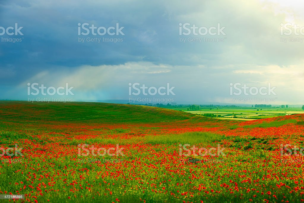 Green field full of red poppies royalty-free stock photo
