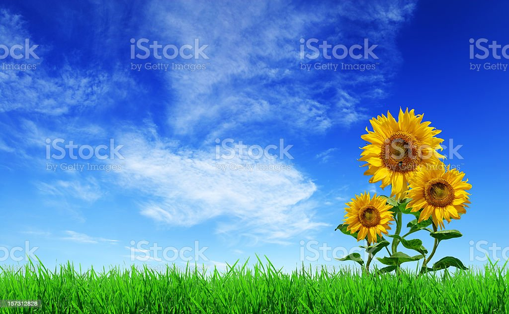 Green field, grass, sunflowers, blue sky (XXXL size)  Agricultural Field Stock Photo