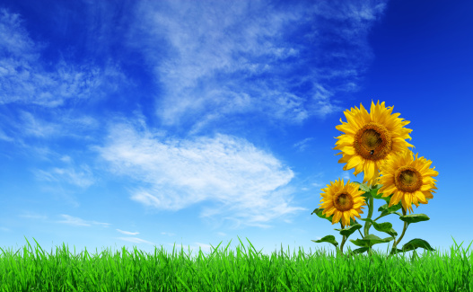 Green Field Grass Sunflowers Blue Sky Stock Photo - Download Image Now