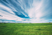 Green Field In Spring Season. Agricultural Rural Landscape At Evening. Copy Space On Sunny Blue Sky Background.