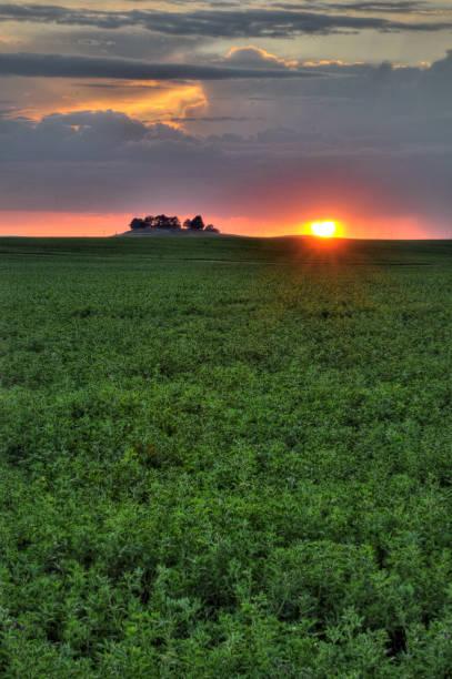 Groen veld van Alfalfa gewas foto