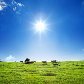 green field of countryside landscape and livestock of sheep and cow over clear blue sky with shinning sun