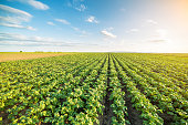 istock Green field of potato crops in a row 546172924