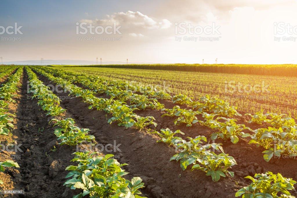 Verde campo de cultivo de batata em uma linha - foto de acervo