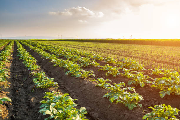 Green field of potato crops in a row stock photo